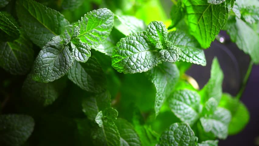 Mint. Fresh mint leaf background closeup. Growing organic mint close up. Rotation 360. 4K UHD video footage 3840X2160 #26933323