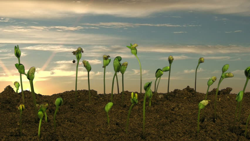 Time-lapse of growing soybeans vegetables on sunrise background 5d