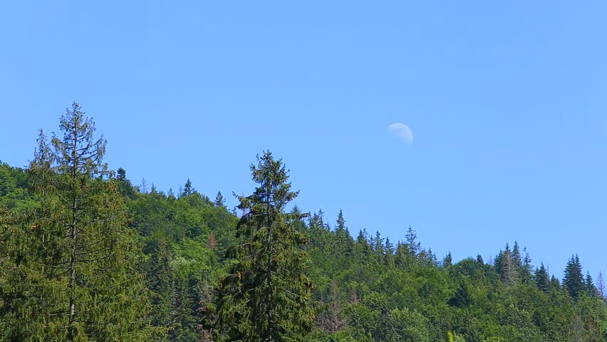 Beautiful nature landscape in daytime. Tops of fresh green pine trees and full moon in bright blue sky in daylight. Real time full hd video footage.