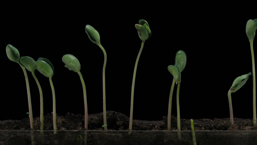 Time-lapse of growing soybeans vegetables on black background 7b2