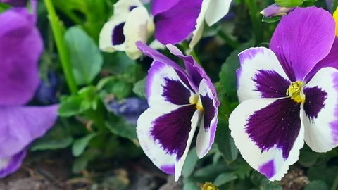 Beautiful pansies of flowers in the garden. Violets summer day closeup. Time lapse video 1920×1080