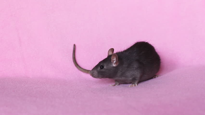 rat washes on white background