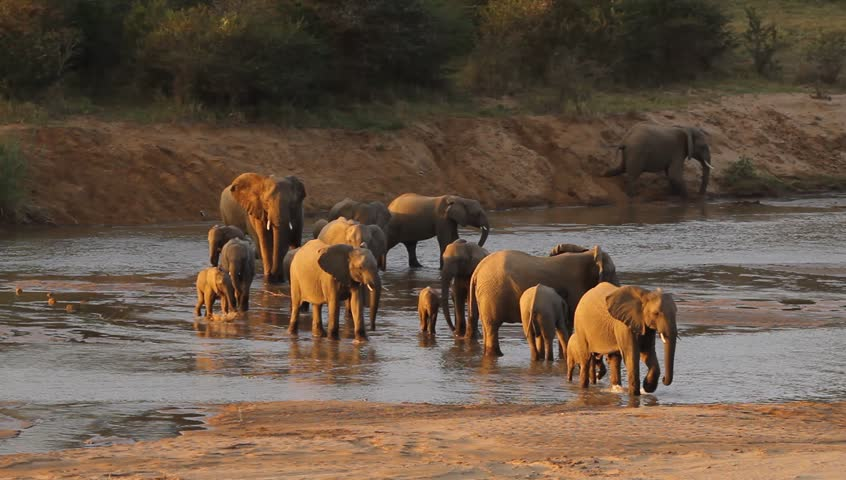 A herd of elephants walking across a shallow river ,yes see young and old elephants.