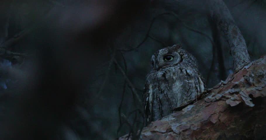 Common Scops Owl, Otus scops, near the nest. Madzharovo, Eastern Rhodopes, Bulgaria. Wildlife Balkan. Bird behaviour scene from nature. Nesting animal in the habitat. Owl on the tree. #27267199