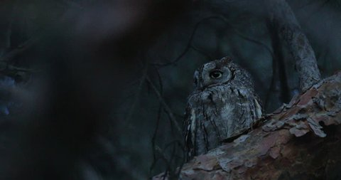 Common Scops Owl, Otus scops, near the nest. Madzharovo, Eastern Rhodopes, Bulgaria. Wildlife Balkan. Bird behaviour scene from nature. Nesting animal in the habitat. Owl on the tree.
