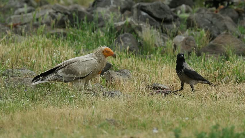 Vulture with crow and carcass. Egyptian Vulture, Neophron percnopterus,  Madzharovo, Eastern Rhodopes, Bulgaria. Wildlife Balkan. Bird behaviour scene from nature. Mountain animal in the habitat.   Shutterstock HD Video #27274969
