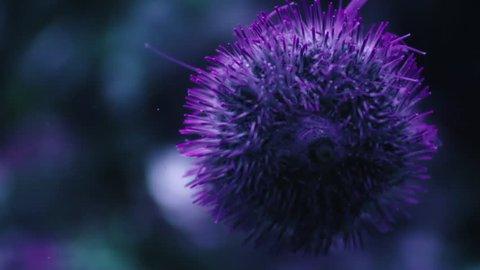 Atlantic purple sea urchin (Arbacia punctulata) underwater closeup