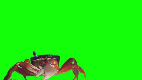 Chroma Key Effect Animal Footage. Green screen. Crab rainbow, cleans eyes, breathes air and crawls