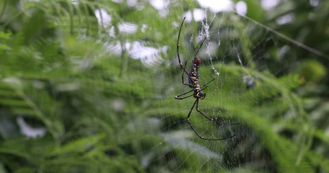 4k Spider Argiope Lobata Approaches Stock Footage Video 100