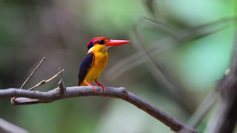 Black-backed Kingfisher standing in the branch and waiting to catch the fish or insect  in the wild at  Southern Thailand