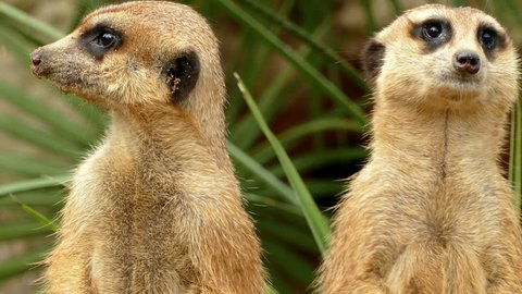 Portrait of vigilant meerkats, appearing and disappearing looking in all directions.