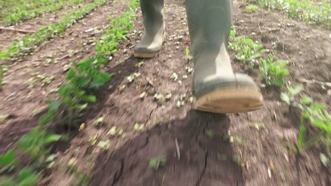 Rubber boots in young soybean field, agronomist farm worker walking through cultivated crop plantation