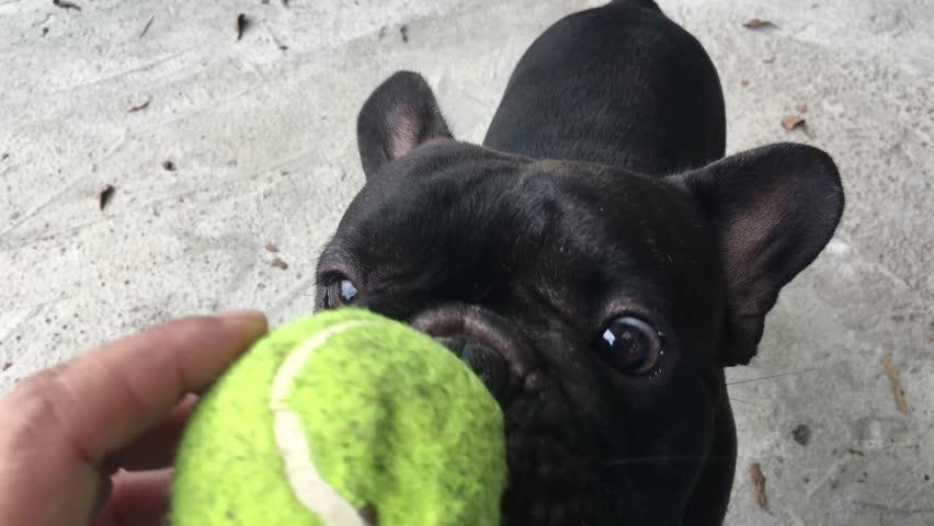 Image result for bulldog black ball