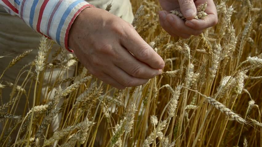 Farmer  grind and looking crop  ears | Shutterstock HD Video #2748119