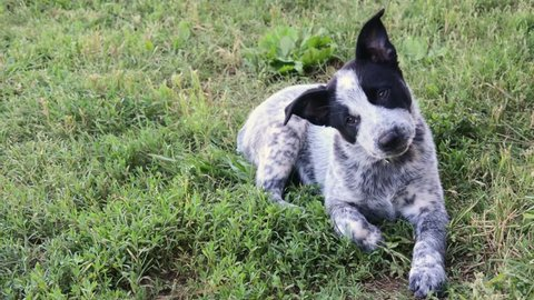 Adorable Texas Heeler puppy tilting her head from side to side while lying in grass