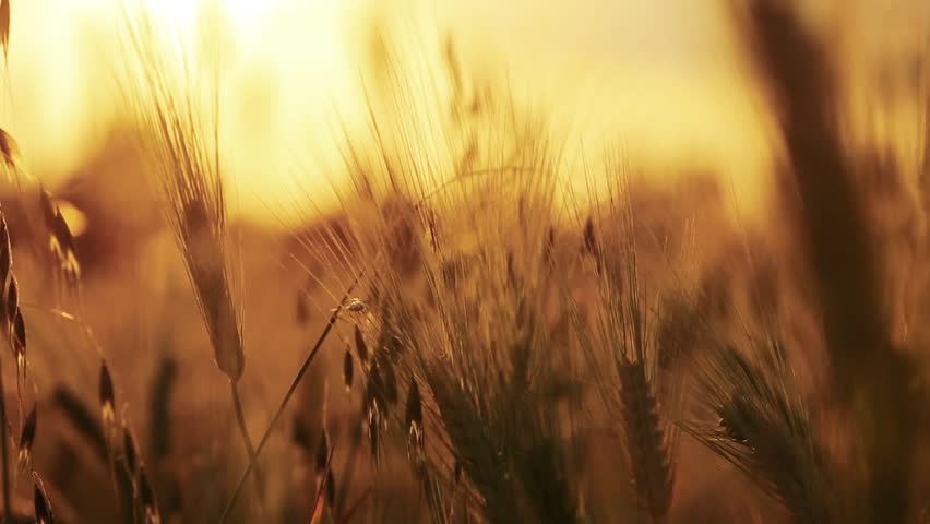 Wheat Field. Ears of wheat close up. Harvest and harvesting concept. Field of golden wheat swaying. Nature landscape. Peaceful scene. Background Health Concept HD | Shutterstock HD Video #27520429