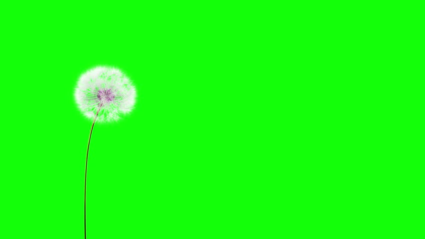 Dandelion on the wind (GreenScreen). You can change background or add graphics to this clip, using greenscreen keying.