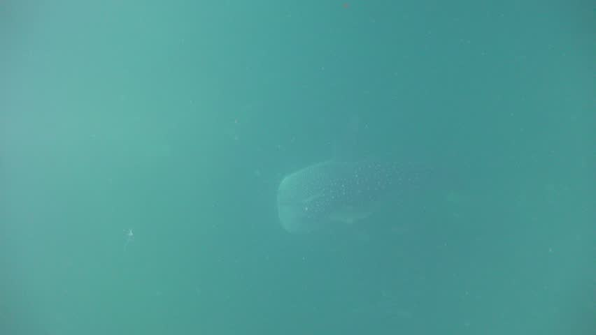 Whale shark in poor visibility floats to the surface. A plastic bag is passing by | Shutterstock HD Video #27539659