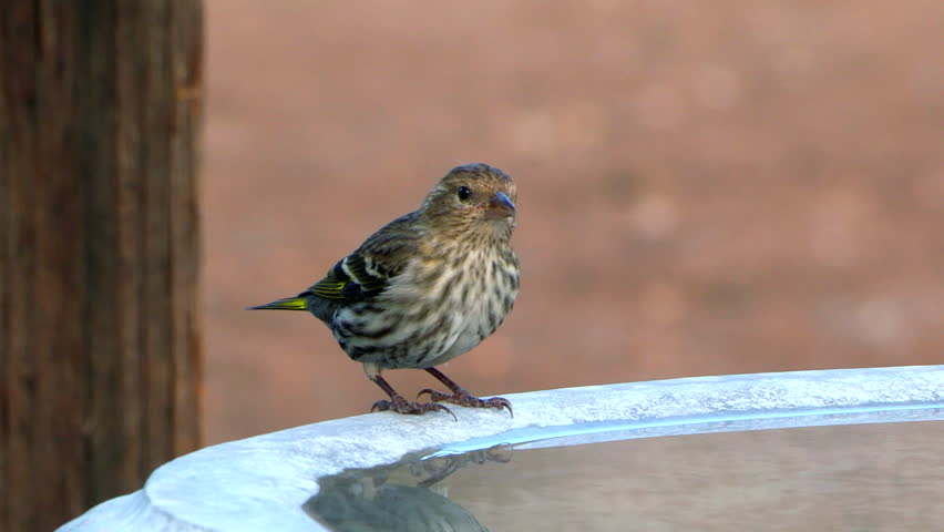 Close up of a Pine Siskin (Spinus pinus), member of the finch family, drinking from a cement bird bath. Bird baths and feeders are a great way to enjoy these small birds in your own back yard.