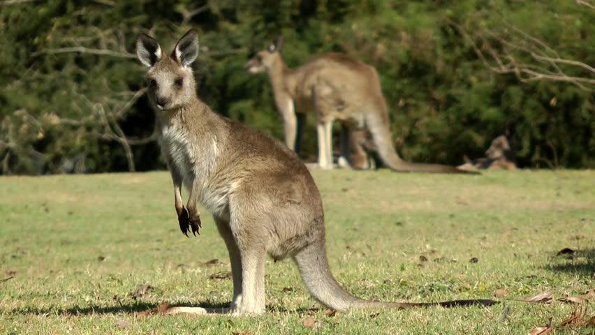 Australia - Kangaroos