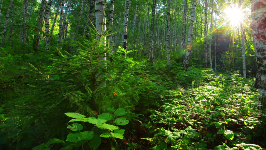 Morning in a birch forest | Shutterstock HD Video #2759294