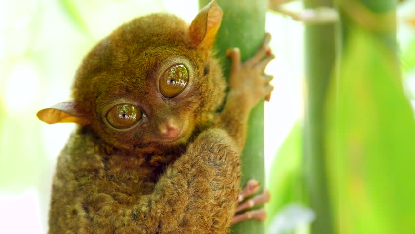 Tarsier monkey in its natural habitat in Bohol, Philippines. Close up shot, zoom in.  #27599389