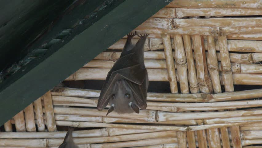 Bat Hanging From Ceiling And Watching