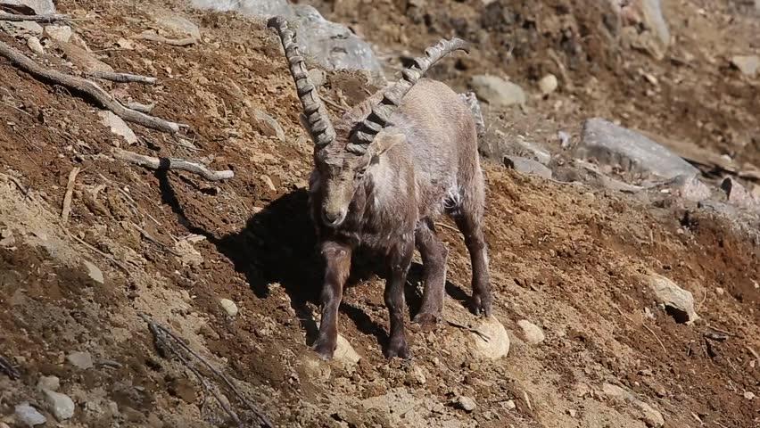 Header of Alpine Ibex