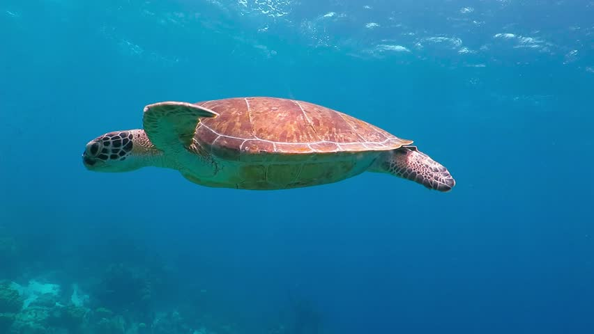 Swimming cute turtle in the blue ocean. Underwater scuba diving with sea turtle. Exotic island vacation with snorkeling. Wildlife on the tropical coral reef. #27694309