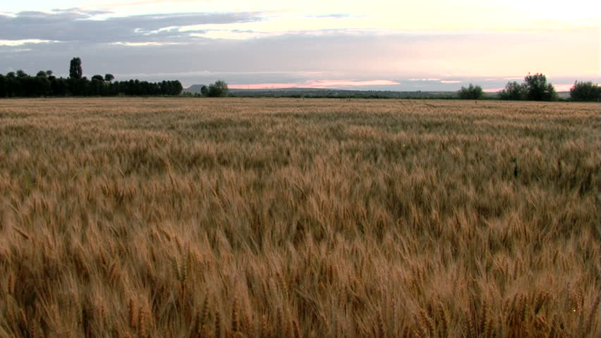 Nice wheat crop in the sunset... - HD stock video clip