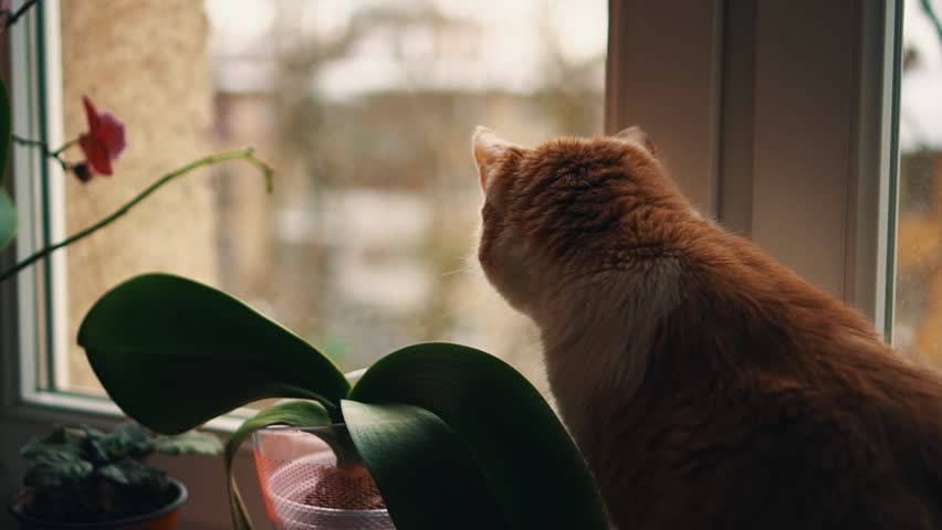 Ginger and white cat looking out window on winter snow covered dormitory yard sitting on sill with plant in pot, close up