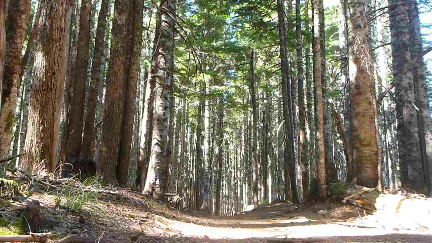Model released man hikes away, down trail through thick forest in the Pacific