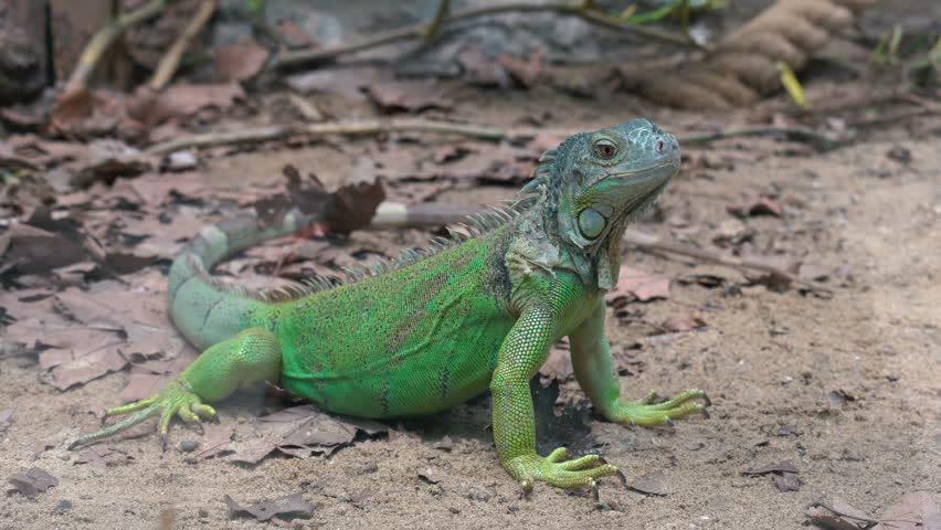 4K Iguana Green in Nature Looking Around and Standing Still in High Resolution Package Bundle Compliation Pack