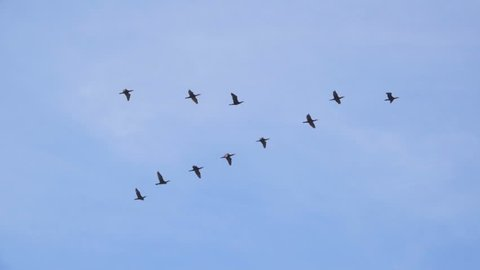 Follow leaders: Flock of  geese flying in an imperfect V formation. Slow motion.  Birds Geese flying in formation, Blue sky background. Migrating Greater birds flying in Formation
