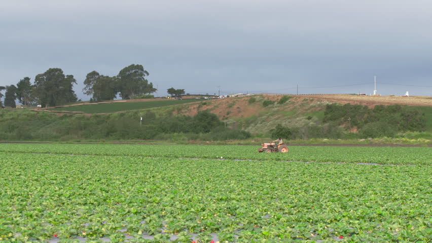 Framer driving old fashioned tractor through rows of fresh green strawberry plants growing in rural California farmland field.