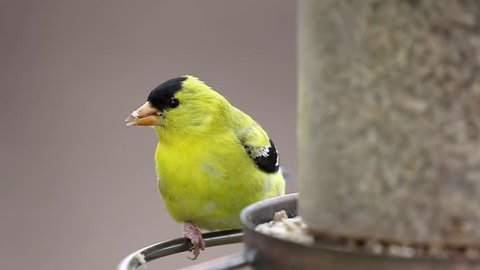 Male American Goldfinch (Spinus tristis) eats at a bird feeder. The American Goldfinch is the state bird of Iowa, New Jersey, and Washington.