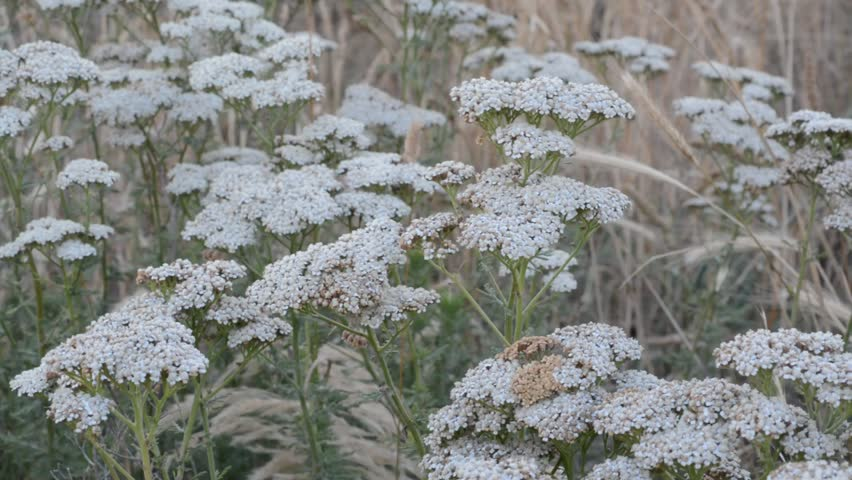 Header of Achillea millefolium