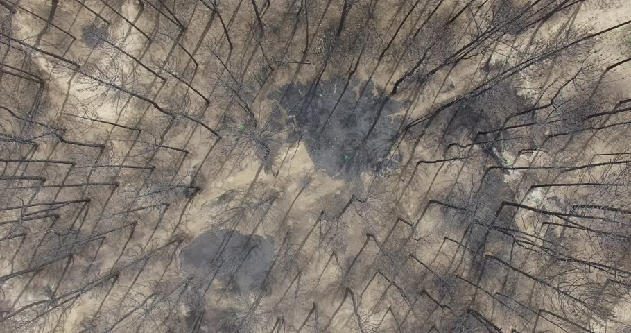 Aerial drone scene top view of burned forest after fire. Black dead trees standing up. Camera moving forward. Pinamar, Buenos Aires, Argentina.