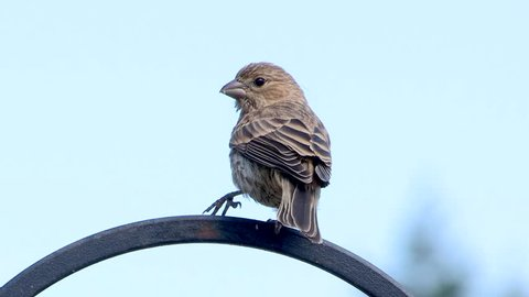 A Pine Siskin (Spinus pinus) favors an injured leg, unable to grasp or perch with it. How the bird was injured is unknown.