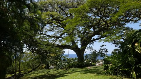 Tracking shot of a 400-year old Saman or Rain Tree, one of the most popular attractions at the Romney Manor at St. Kitts, West Indies