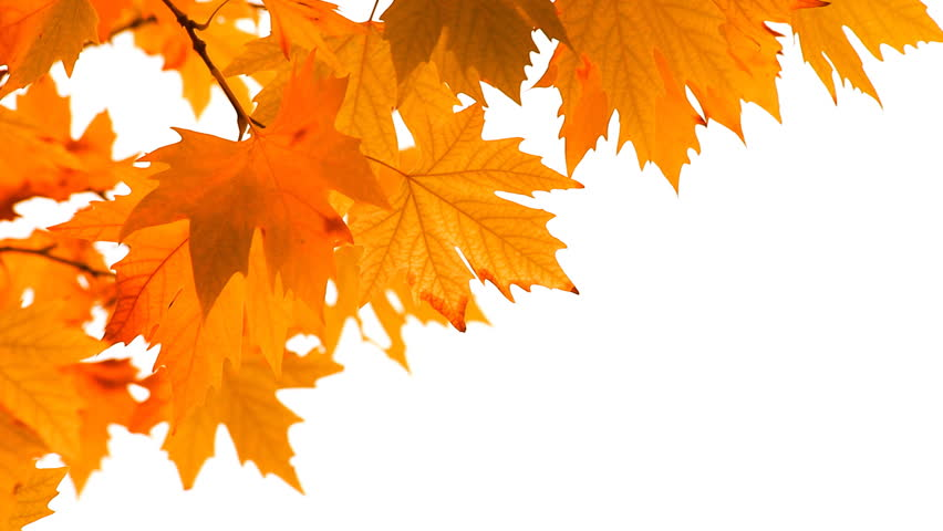 Red autumn leaves swaying in the wind on a white background