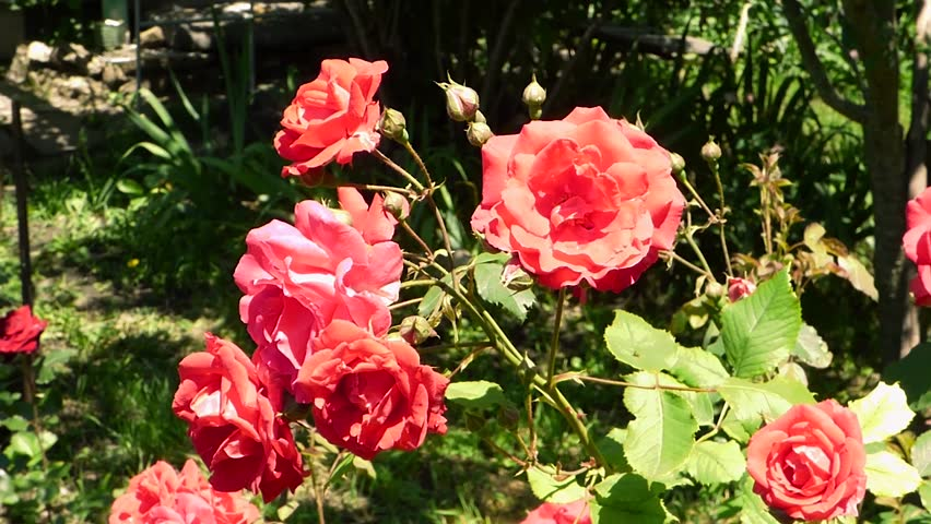 Big red roses on blurred background. Bright flowers swaying in the wind, green plants behind. Summer sunny day in park or garden. | Shutterstock HD Video #28107001