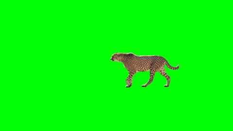 Cheetah slowly walking across the frame on green screen, real shot, isolated with chroma key, perfect for digital composition, cinema, 3d mapping
