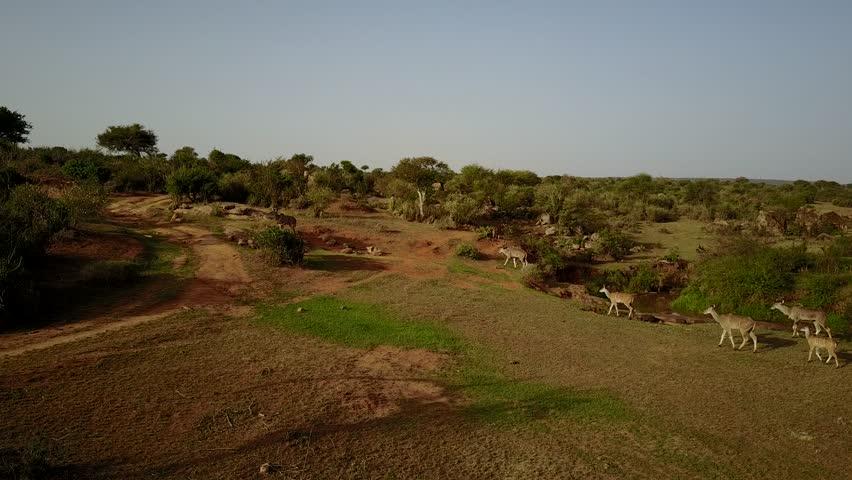 Kudu. Aerial drone 4K footage of kudu antelope in East Africa