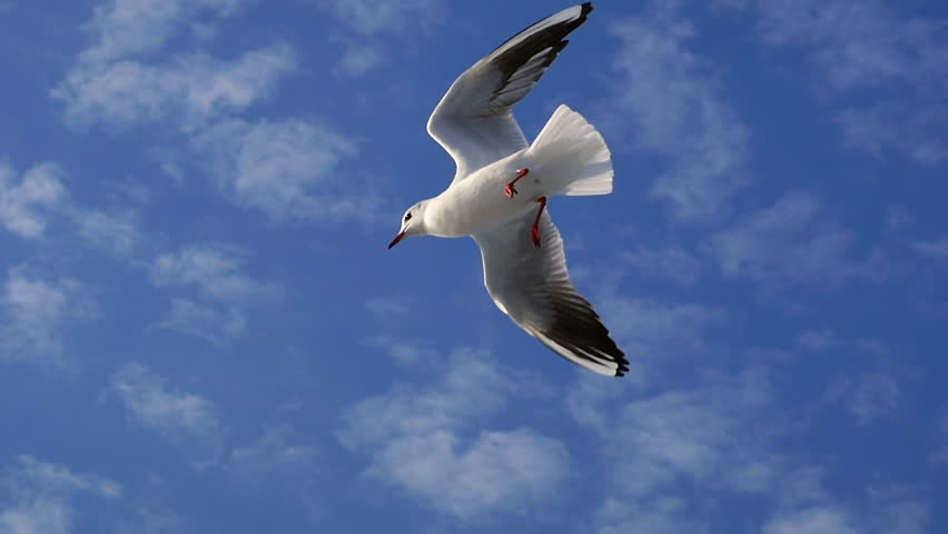 Slow Motion Cute hungry seagulls flying above the boat. When gliding, birds make use of rising air currents to hold them up to move smoothly and continuously along, as if without effort or resistance