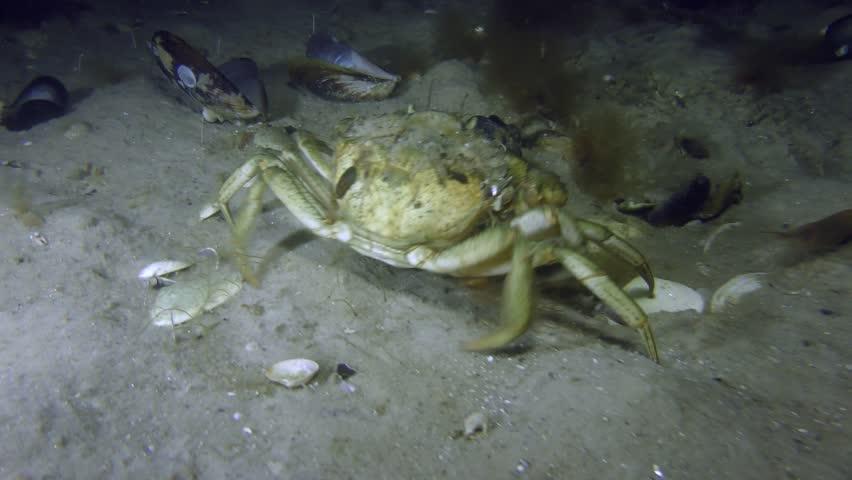 Green crab or Shore crab (Carcinus maenas) slowly crawls along the sandy bottom.