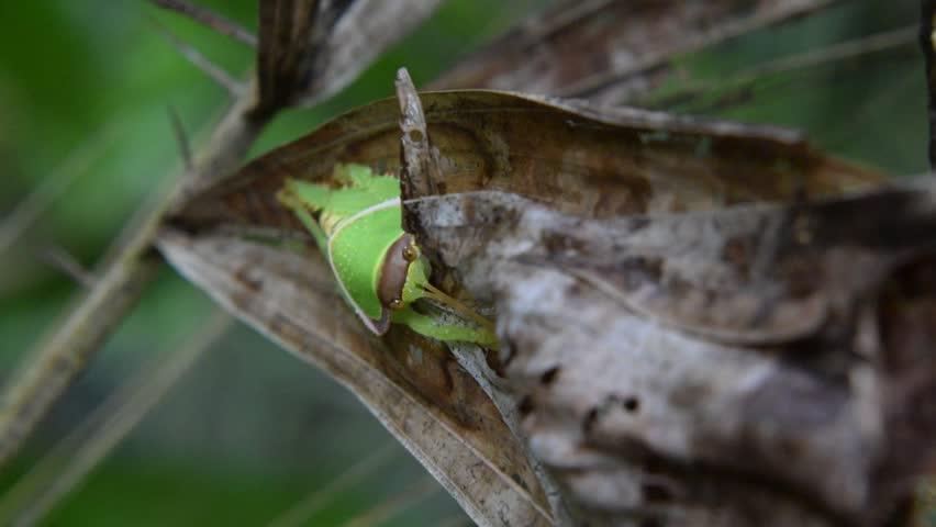 Giant False Leaf Katydid Nymph (Pseudophyllus titan, Pseudophyllinae, Tettigoniidae), Thailand.