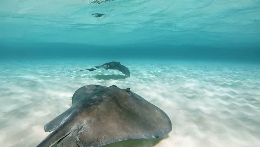 Stingray swimming in slow-motion on the caribbean sea floor in Stingray City in the Cayman Islands.
