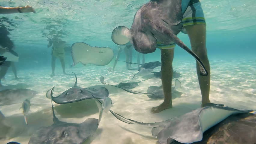 Stingray City, Grand Cayman Island - Stingrays and fish swimming with hundreds of touristic the caribbean.