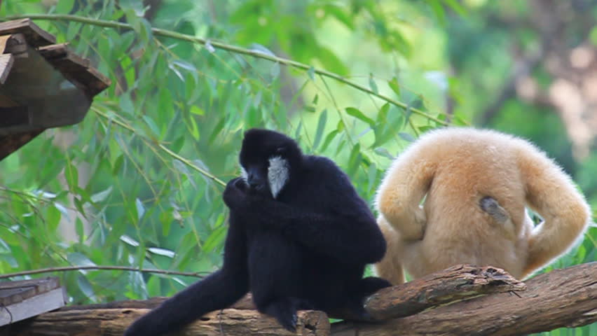 Family White Cheeked Gibbon or Lar Gibbon
